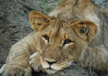 Lion Cub at nambiti